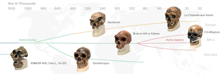 Anthropological Skulls