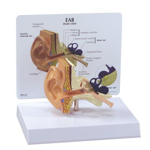 Ear Model, 1019526, Ear Models