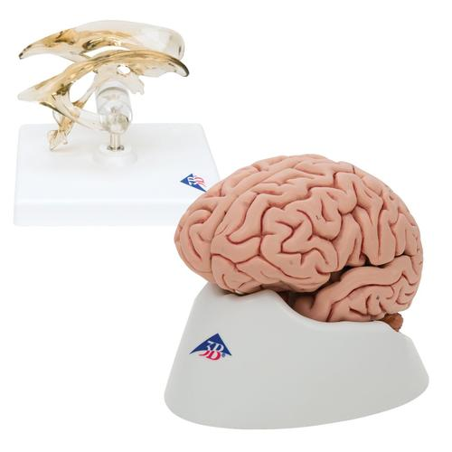 Anatomy Set Brain and Ventricle, 8000842, Brain Models