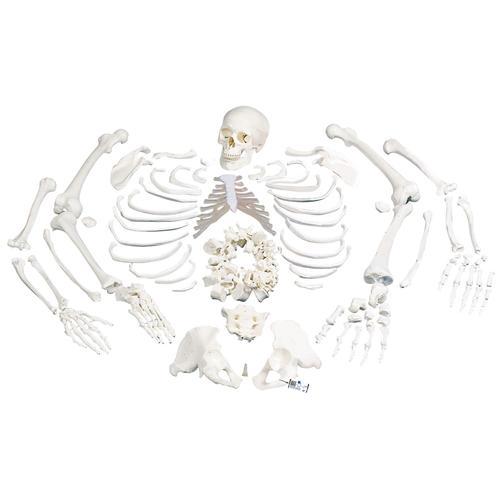 human anatomy skeleton. human skull anatomy. skull