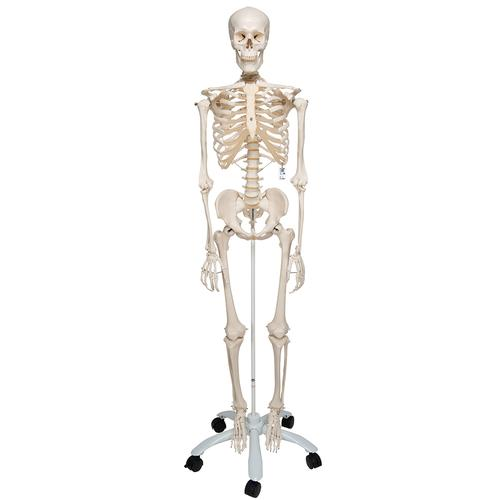 Human Skeleton Model Skeleton For Anatomy Plastic Skeleton Model