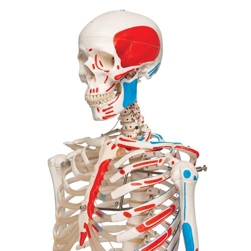 Human Skeleton Model Max with Painted Muscle Origins & Inserts - 3B Smart Anatomy, 1020173 [A11], Skeleton Models - Life size