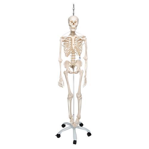 Flexible Skeleton   Flexible Human Skeleton Model Frank   Feldenkrais