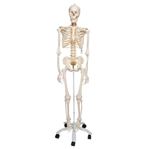 Flexible Skeleton   Flexible Human Skeleton Model Fred   Wire ...