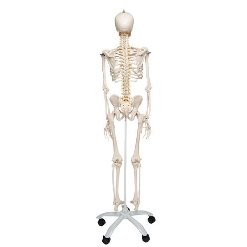Flexible Human Skeleton Model Fred - 3B Smart Anatomy, 1020178 [A15], Skeleton Models - Life size