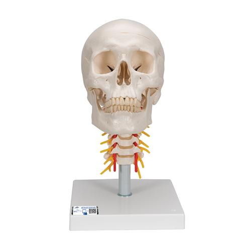 Human Skull Model | Plastic Skull Model | Human Skull Model on ...
