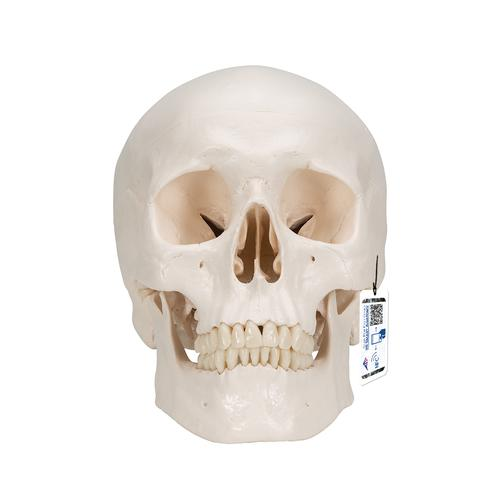 Classic Human Skull Model with Brain, 8-part, 1020162 [A20/9], Human Skull Models