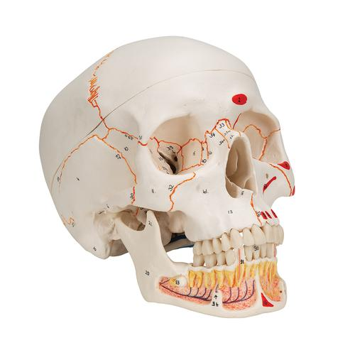Classic Human Skull Model painted, with Opened Lower Jaw, 3 part - 3B Smart Anatomy, 1020167 [A22/1], Human Skull Models