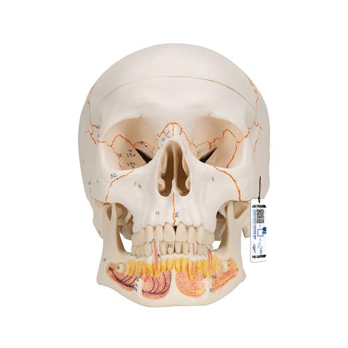Classic Human Skull Model with Opened Lower Jaw, 3 part - 3B Smart Anatomy, 1020166 [A22], Human Skull Models