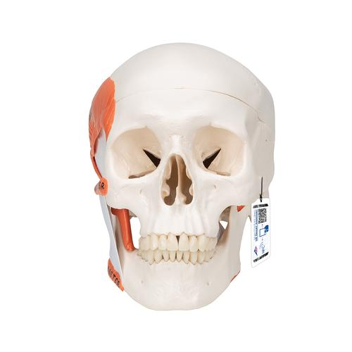 TMJ Human Skull Model, Demonstrates Functions of Masticator Muscles, 2 part - 3B Smart Anatomy, 1020169 [A24], Human Skull Models
