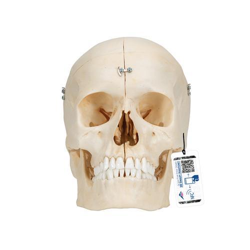 Human Skull Model - Plastic Skull Model - Realistic BONElike Human Skull