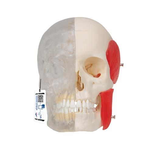 BONElike™ Human Skull Model, Half Transparent & Half Bony, 8 part - 3B Smart Anatomy, 1000063 [A282], Human Skull Models