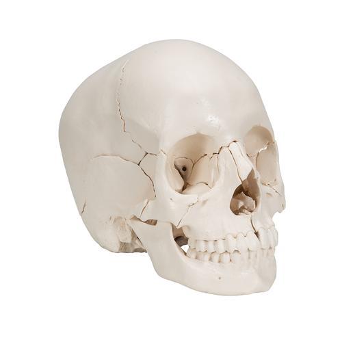 3B Scientific Skull Kit A290