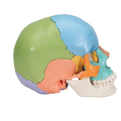Human Skull Model Plastic Skull Model Didactic Beauchene Human