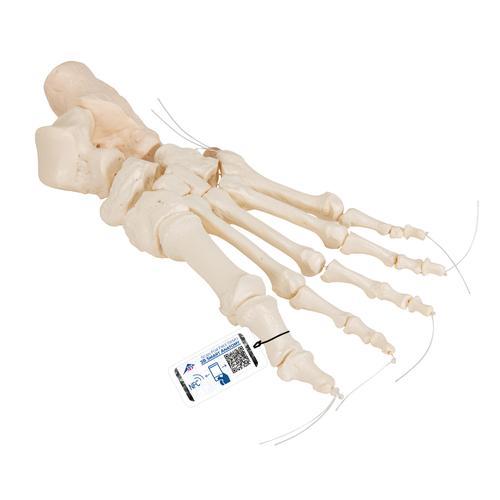 Loose Foot Skeleton - 1019356 - 3B Scientific - A30/2 - Leg and Foot ...