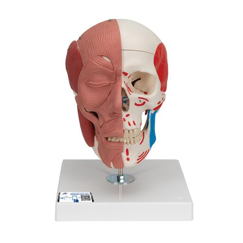 Human Skull with Facial Muscles - 3B Smart Anatomy, 1020181 [A300], Muscle Models