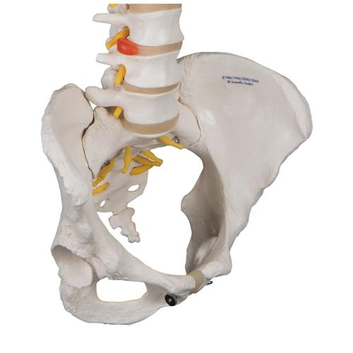 Classic Flexible Human Spine Model with Female Pelvis - 3B Smart Anatomy, 1000124 [A58/4], Human Spine Models