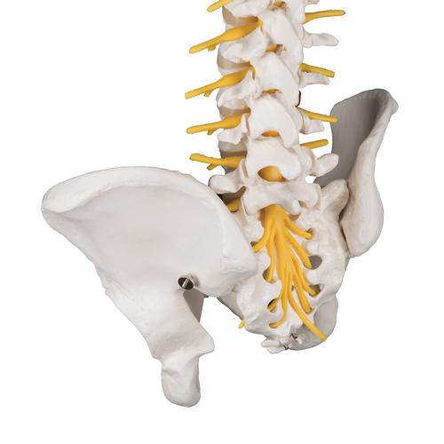 Deluxe Flexible Human Spine Model with Sacral Opening - 3B Smart Anatomy, 1000125 [A58/5], Human Spine Models