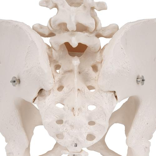 Human Female Pelvic Skeleton Model - 3B Smart Anatomy, 1000134 [A61], Genital and Pelvis Models