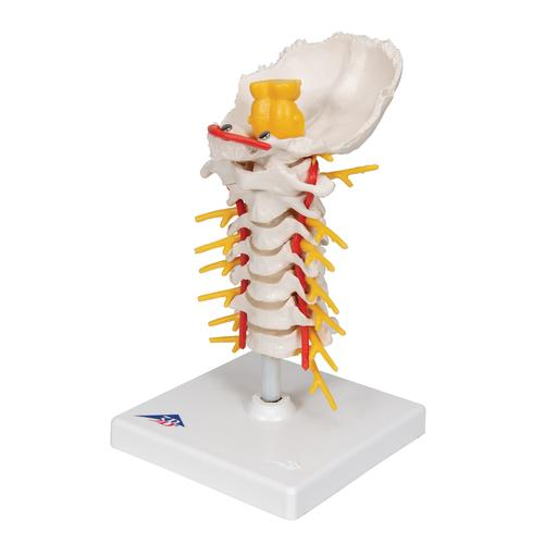 Cervical Human Spinal Column Model - 3B Smart Anatomy, 1000144 [A72], Vertebra Models