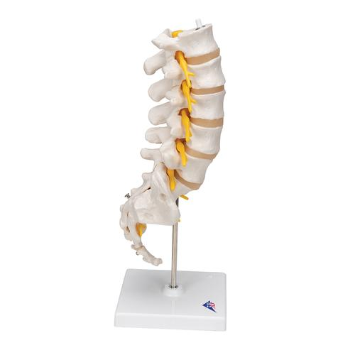 Lumbar Human Spinal Column Model - 3B Smart Anatomy, 1000146 [A74], Vertebra Models