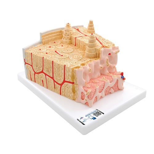 3b Microanatomy Bone Structure 80 Times Enlarged Human Anatomy