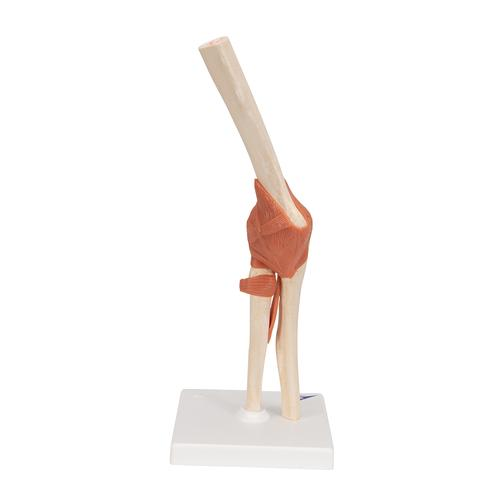Functional Human Elbow Joint Model with Ligaments & Marked Cartilage - 3B Smart Anatomy, 1000166 [A83/1], Joint Models