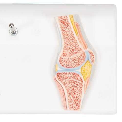 Mini Human Knee Joint Model with Cross Section - 3B Smart Anatomy, 1000170 [A85/1], Joint Models