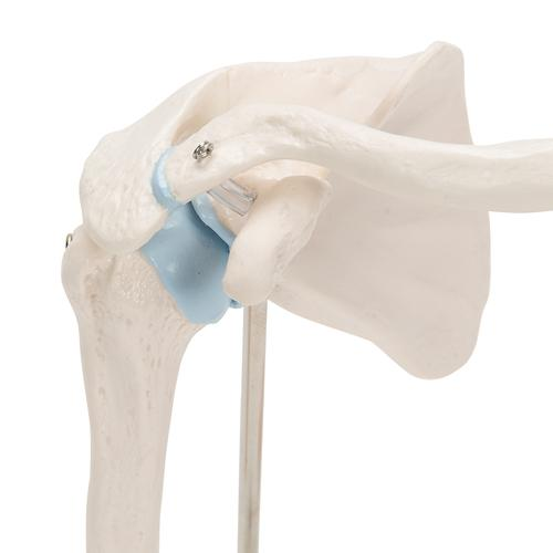 Mini Human Shoulder Joint Model with Coss Section - 3B Smart Anatomy, 1000172 [A86/1], Joint Models