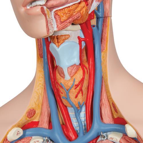 Human Torso Model Life Size Torso Model Anatomical Teaching