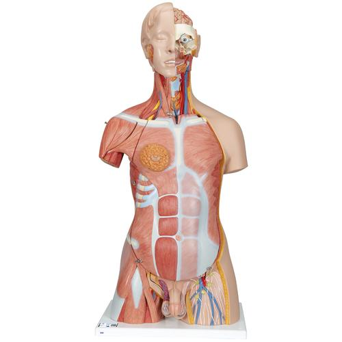 Human Torso Model | Life-Size Torso Model | Anatomical Teaching ...
