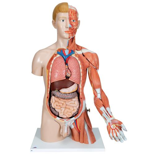Life-Size Dual Sex Human Torso Model with Muscle Arm, 33 part - 3B Smart Anatomy, 1000205 [B42], Human Torso Models