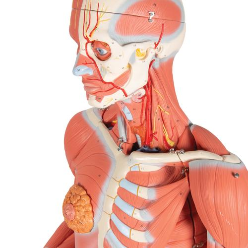 3/4 Life-Size Female Human Muscle Model without Internal Organs on Metal Stand, 23 part - 3B Smart Anatomy, 1013882 [B51], Muscle Models
