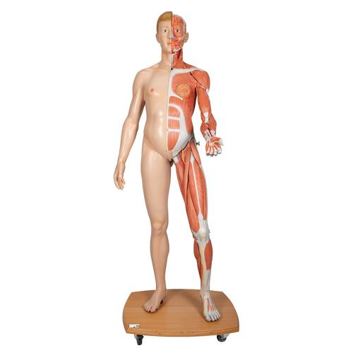 Human Muscular Figure Model   Life-Size Muscular Figure   Anatomical ...