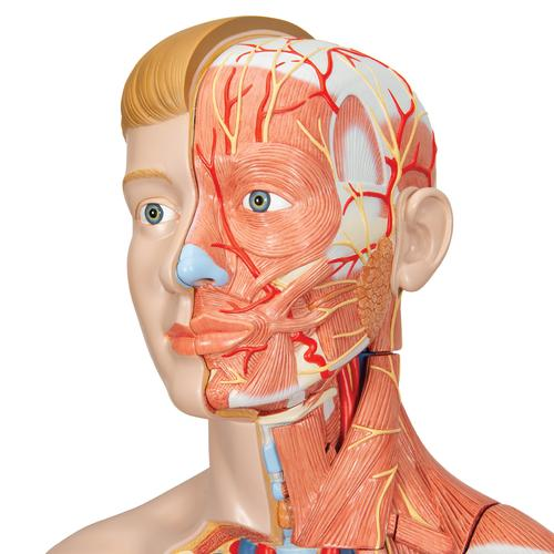 Life-Size Dual Sex Human Figure, Half Side with Muscles, 39 part - 3B Smart Anatomy, 1000209 [B53], Muscle Models