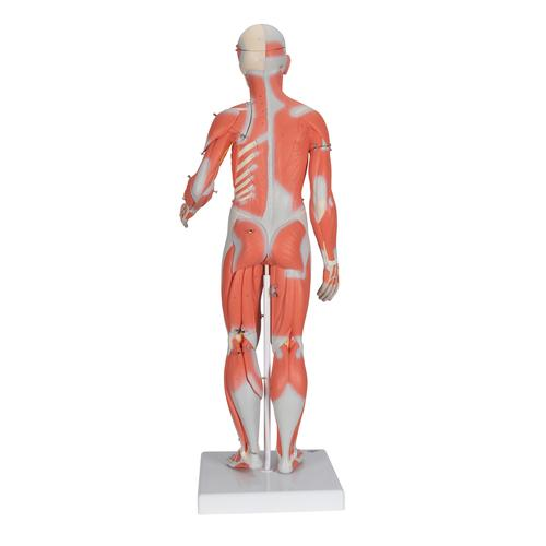 1/2 Life-Size Complete Human Dual Sex Muscle Model, 33 part - 3B Smart Anatomy, 1000210 [B55], Muscle Models