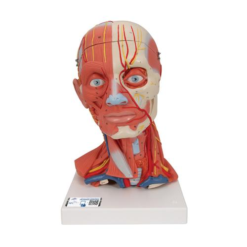 Head and Neck Musculature Model, 5 part - 3B Smart Anatomy, 1000214 [C05], Head Models