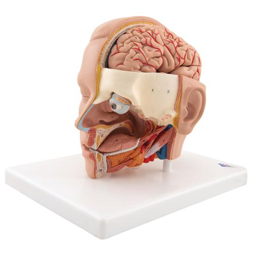 Human Head Model, 6 part - 3B Smart Anatomy, 1000217 [C09/1], Head Models