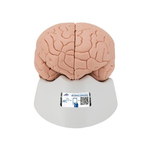 Human Brain Model, 2 part - 3B Smart Anatomy, 1000222 [C15], Brain Models