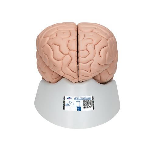 Anatomical Teaching Models | Plastic Human Brain Models | 8-Part ...