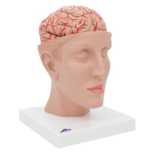 Human Brain Model with Arteries on Base of Head, 8 part - 3B Smart Anatomy, 1017869 [C25], Brain Models
