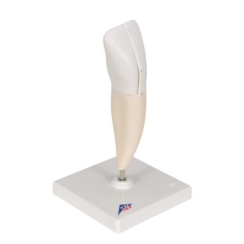 Lower Incisor Human Tooth Model, 2 part - 3B Smart Anatomy, 1000240 [D10/1], Dental Models