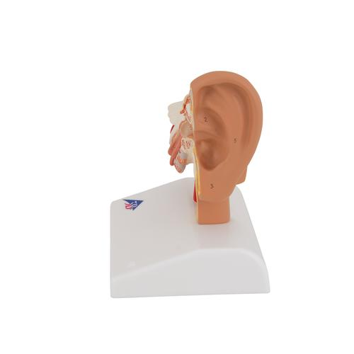 Human Ear Model for Desktop, 1.5 times Life-Size - 3B Smart Anatomy, 1000252 [E12], Ear Models