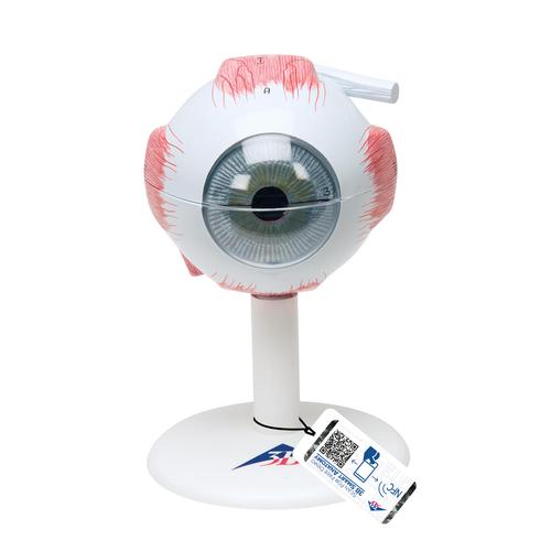 Eye, 3 times full-size, 6 part, 1000259 [F15], Functional Model of the Eye