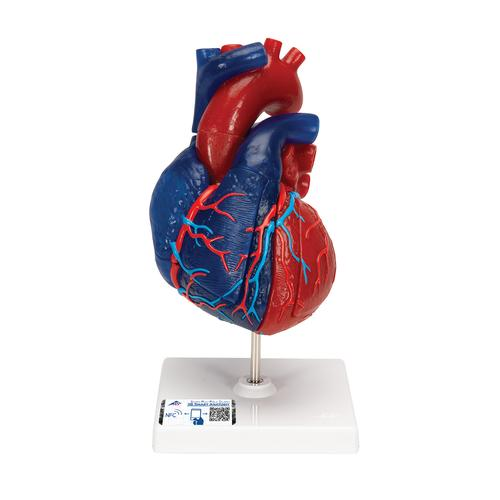 Magnetic heart model life size 5 parts 1010007 3b scientific magnetic heart model life size 5 parts ccuart Image collections
