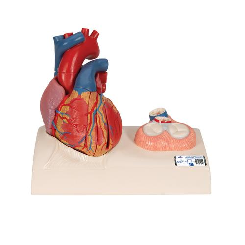 Life-Size Human Heart Model, 5 parts with Representation of Systole  - 3B Smart Anatomy, 1010006 [G01], Human Heart Models