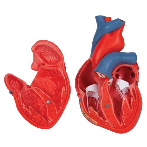Classic Human Heart Model, 2 part - 3B Smart Anatomy, 1017800 [G08], Heart Health and Fitness Education