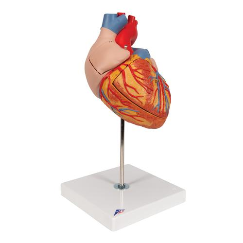 Anatomical heart model anatomy of the heart 4 part heart model heart 2 times life size 4 part ccuart Image collections