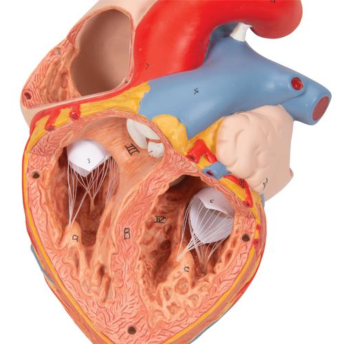 Human Heart Model with Esophagus and Trachea, 2 times Life-Size, 5 part - 3B Smart Anatomy, 1000269 [G13], Human Heart Models