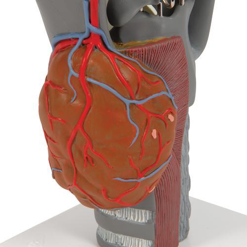 Functional Larynx Model 2 5 Times Full Size Ear Models Larynx